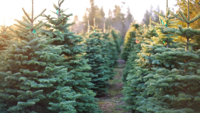 Christmas trees are selling out