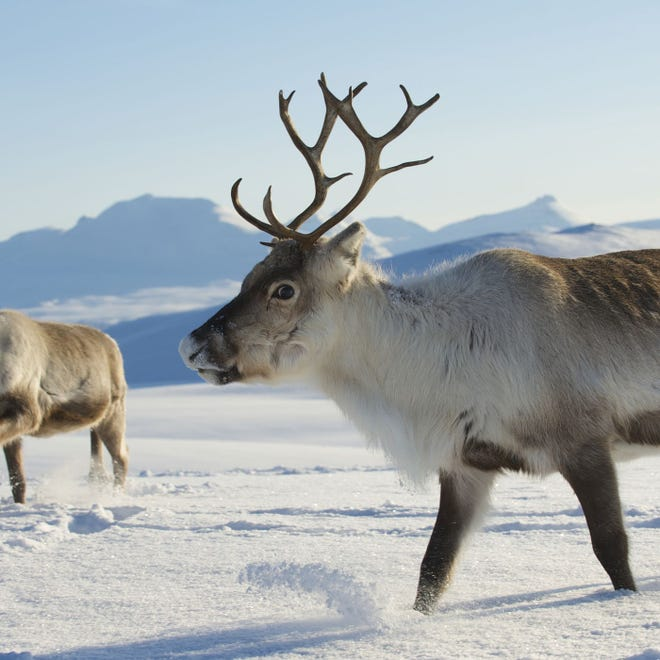 Reindeer in Norway.