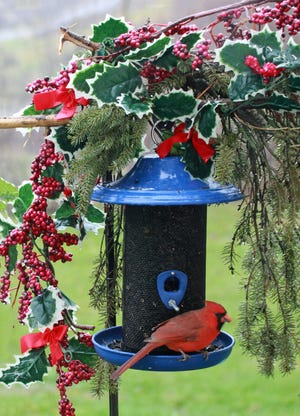 A festive cardinal delight here in Cameron Mills.