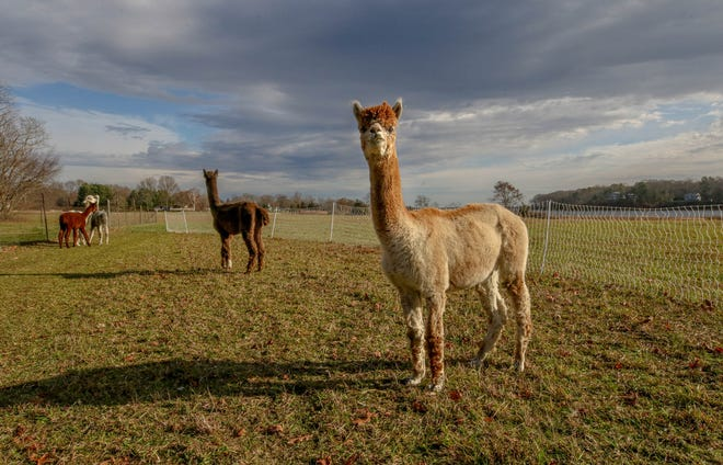 The Meadows, 125 acres of riverfront farmland owned Fran Gammell-Roach and her husband Nick Roach in Warwick, includes their alpaca herd.