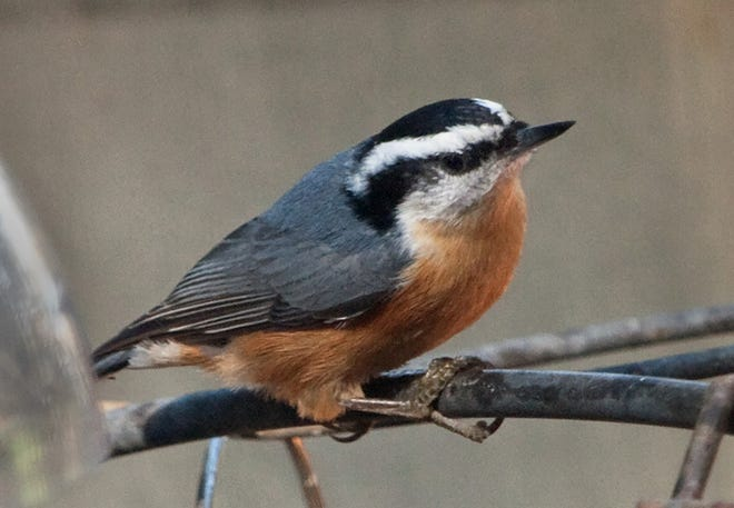 Red-breasted nuthatch with its nasal honking call can be a noisy but distinctive visitor during years when the cone crop is poor in the boreal forest.