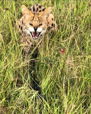 Florida Fish and Wildlife Commission officers captured and relocated a suspected serval on St. Johns Water Management District Property near Palm Bay.