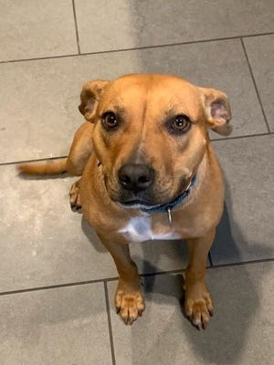 Brownie's adoption fee would be $60, which includes her spay surgery, vaccines, 12-months-supply of Heartworm prevention and her microchip + registration.
