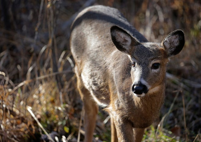 There were 10,904 deer taken Monday, the opening day of the weeklong gun season. That was down some 30 percent from opening day a year ago.