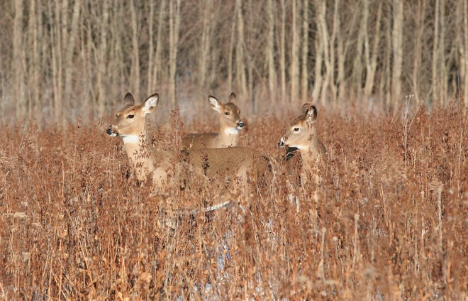 Three antlerless deer meander through a prairie restoration project in southern Wisconsin.