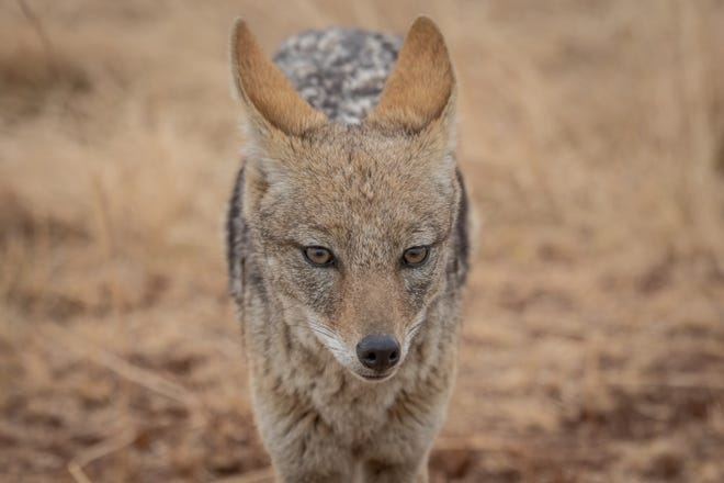 The actual coyote was not available for a photo shoot, but this one sure looks hungry.