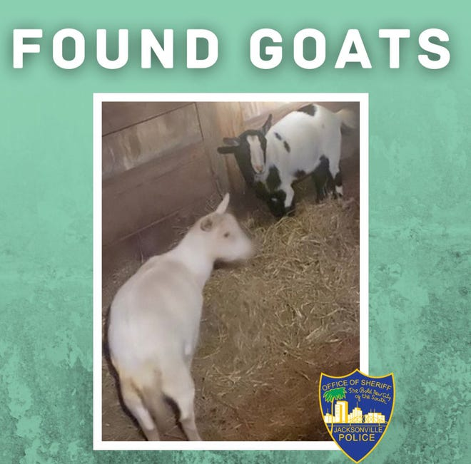 Jacksonville police captured a couple of fugitive goats following a predawn pursuit Sunday in the Queen's Harbor neighborhood.