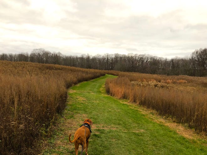 We cross the vast field with the forest ahead on a Ganondagan trail in Victor.