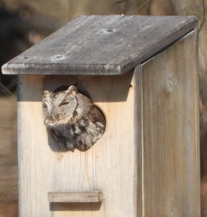 A screech owl peers out of a nest box.