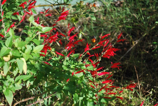 Pineapple sage can be used in teas and cooking.