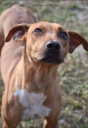 Jaxson is a 2-year-old hound/beagle mix currently weighing 35 pounds. He is a fun boy that loves to soak up attention. Jaxson does well with other dogs and kids (hasn't been cat tested yet, but can be upon request). Fall in love with Jaxson when visiting him at our shelter.