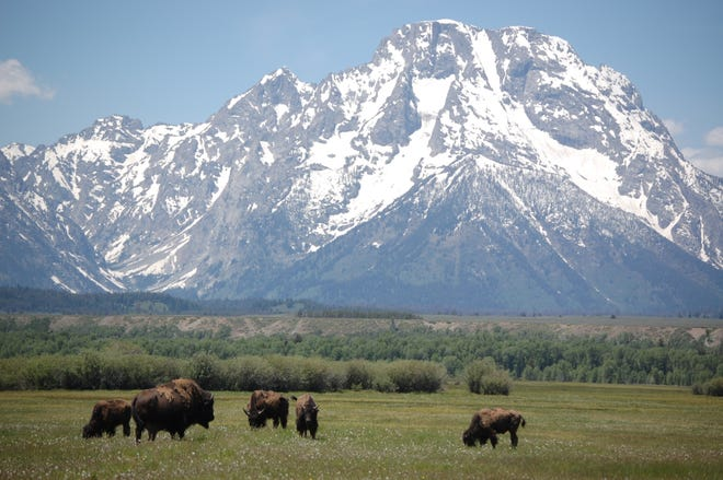 Bison graze with the Teton's Mt. Moran in background.