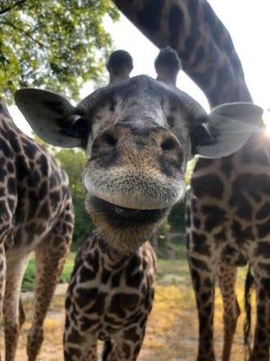 Theo the giraffe checking out the camera at the Cincinnati Zoo & Botanical Garden.
