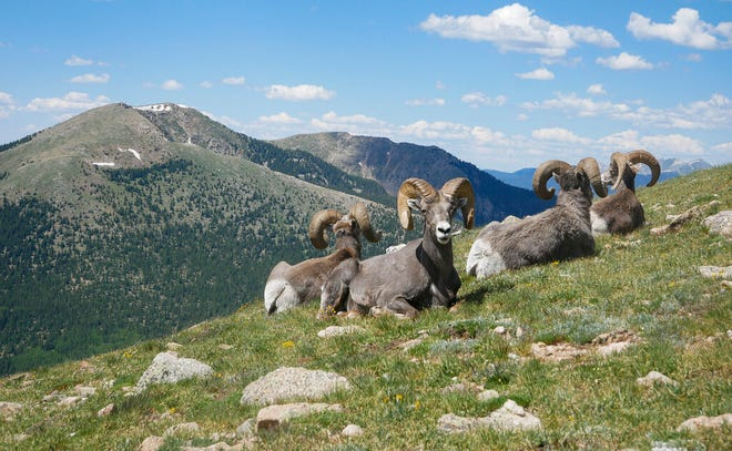 In this July 4, 2019 photo, Rocky Mountain bighorn sheep sit on Penitente Peak in the Pecos Wilderness northeast of Santa Fe. Rocky Mountain bighorn sheep were extirpated from New Mexico by the early 1900s but through restoration efforts have grown to a population of approximately 1,700 across 11 herds in Northern New Mexico.