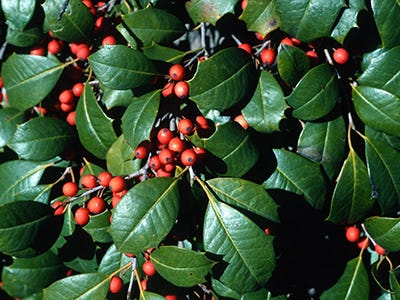 """All the hollies native to Florida produce the shiny green leaves and red berries we think of as """"Christmas holly"""" and prize as part of our holiday decorating."""