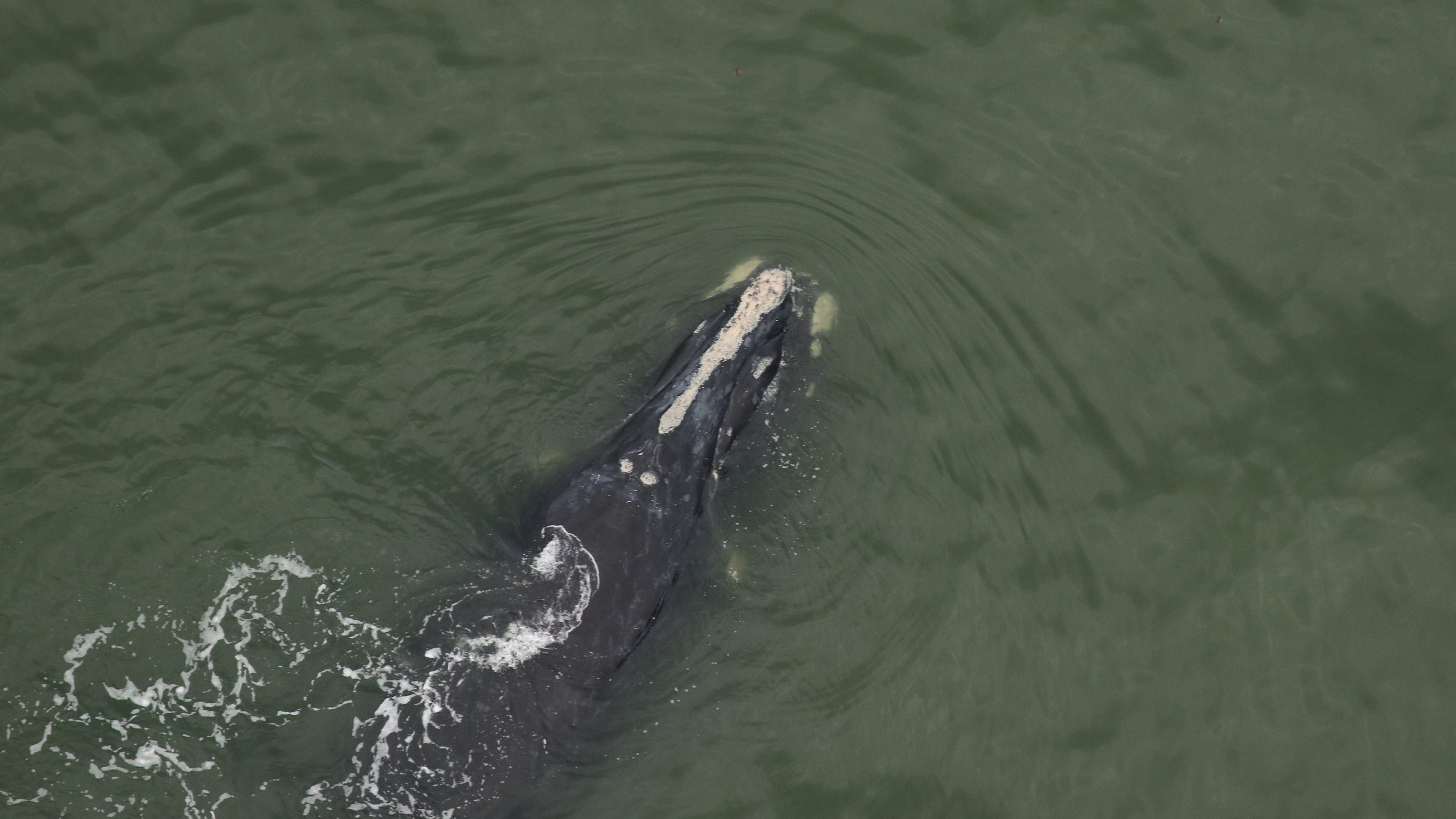 Critically endangered North Atlantic right whale population gets a boost: 2 newborns spotted off US coast