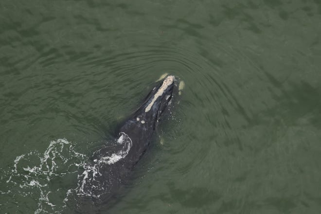 A right whale known as Chiminea swims with her newborn calf off the coast of Cumberland Island on Dec. 4. Photo taken under NOAA Research Permit 20556-01
