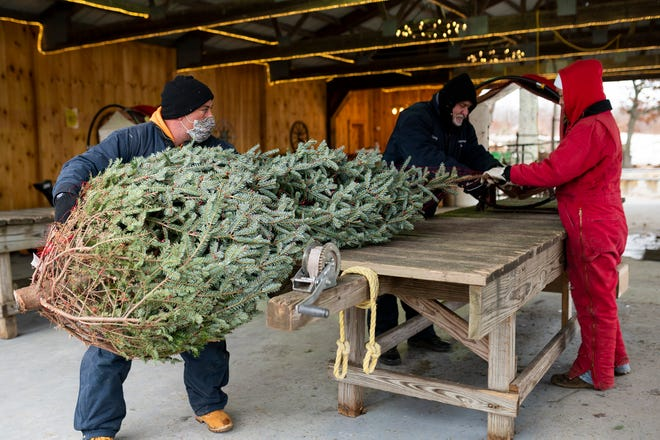 Gary Bellville carries a tree to a car after it was selected by a family at Arrowhead Acres tree farm in Uxbridge on Tuesday. Brisk sales this season have left many Christmas tree farms without supplies early.