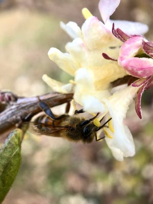 Hungry bees are drawn to the rich fragrance of winter honeysuckle, which will soon be in bloom throughout the Cape Fear region.