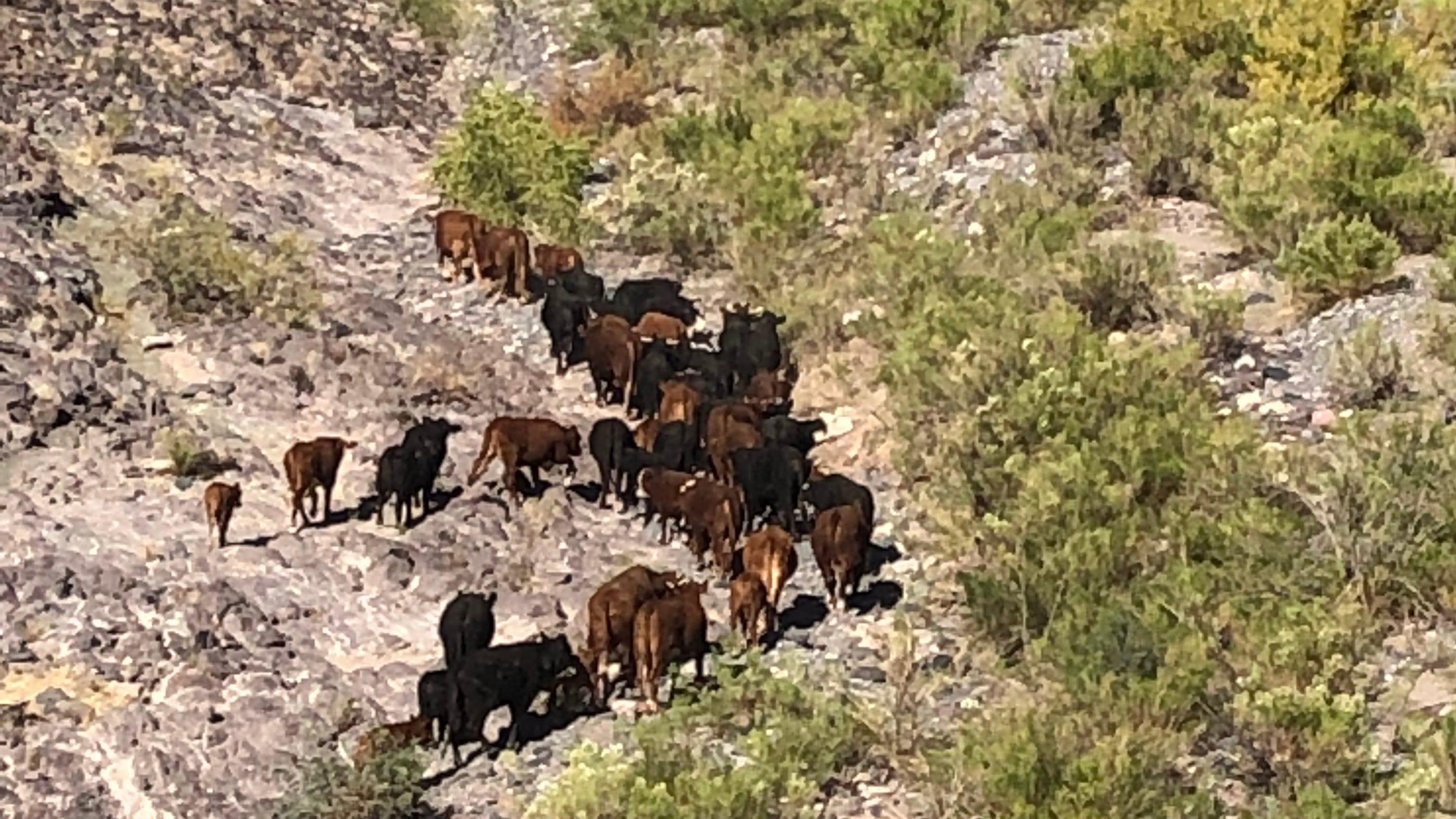 Feds round up feral cattle along the Verde River after habitat damage complaints