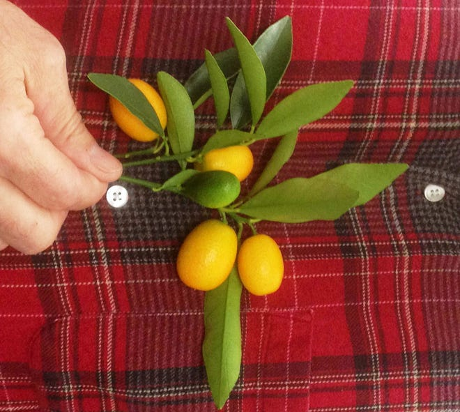 This mystery plant is said to be one of the hardiest citrus species, which means it can stand it pretty cold without any damage.