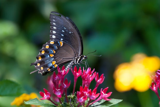 This spicebush swallowtail finds Sunstar Red pentas to be just perfect.