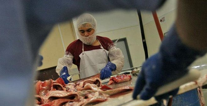 FILE PHOTO: Immigrants work on processing a load of dogfish at a local fish processing plant.