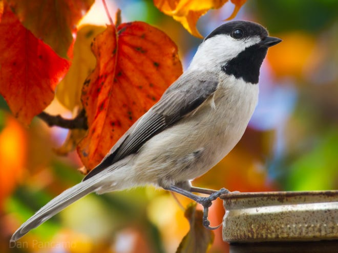 To sustain Carolina chickadee populations, along with other native wildlife species, be sure at least 70% of the plants in your yard are native.