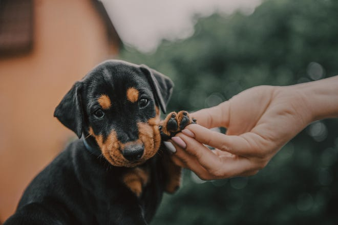 Handling a puppy's feet can help prepare your pet for future nail trims.