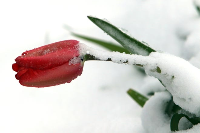 A flower is covered with snow following an overnight snowfall that dumped several inches of heavy wet snow April 17 in Burlington. Snowfall is expected to return to the region late Friday into Saturday.