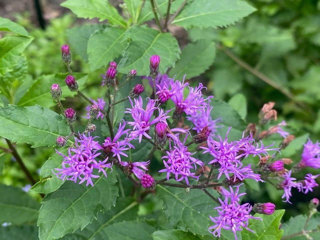 Giant ironweed, which grows 3-5 feet, works best in the back of a border or along the edge of a shady spot.