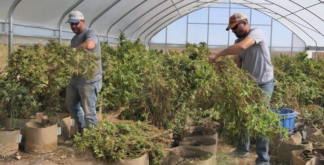 Aaron Baldwin and Ryan Morehead are harvesting  industrial hemp on Oct. 14 at South Bend Industrial Hemp in Great Bend.