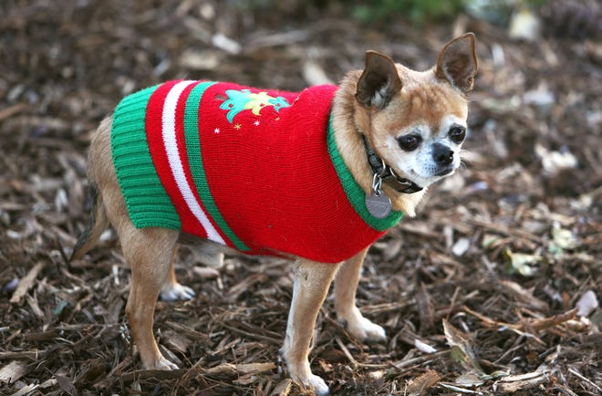 An 8-year-old Chihuahua is good to go for the holiday season. Your best tool in preventing a memorable Christmas for the wrong reasonsis good old-fashioned awareness.