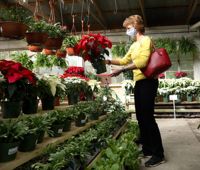 Becky Legate picks out a poinsettia from the indoor greenhouse at Garden Gate Nursery in Gainesville. As many business have seen a sharp decline in business during the COVID-19 pandemic, some businesses around town have done well in 2020. With many people home and wanting to spruce up their yards and houses, Garden Gate Nursery has been among the winners.