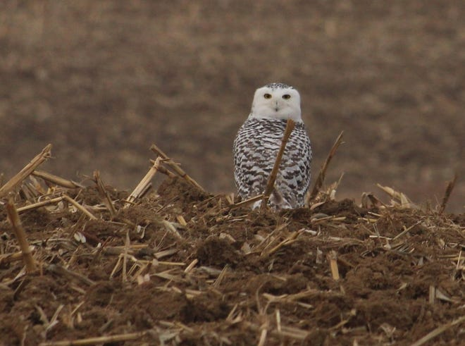 Eric Nickelson of Galion captured images of a snowy owl on the east end of Bucyrus on Wednesday.