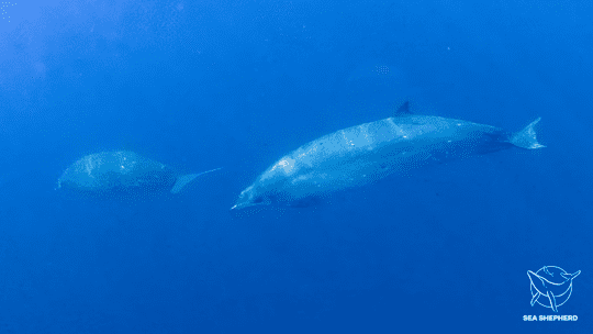 A possible new species of beaked whale found in Mexico's remote San Benito Islands.