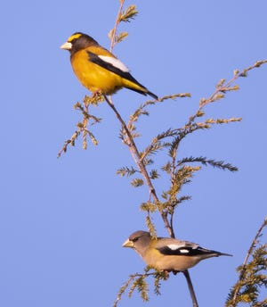 A pair of evening grosbeaks — the male above, female below