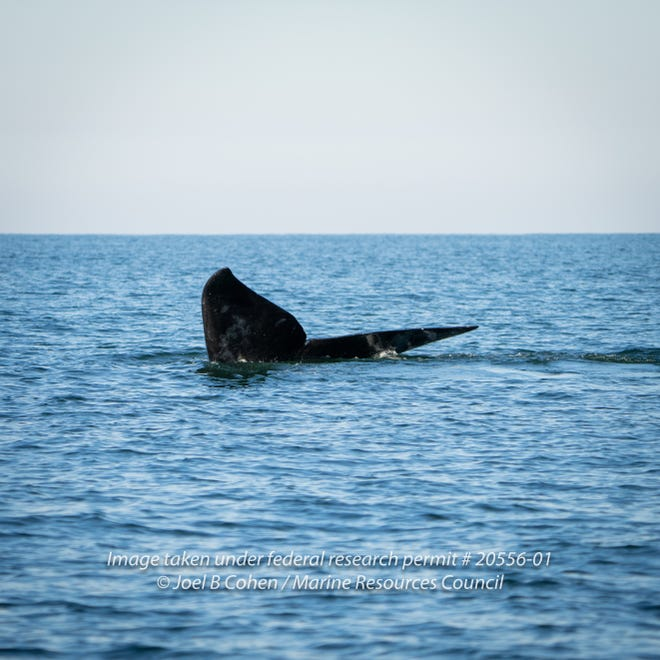 A criticallyendangered North Atlantic right whale mother and her calf were spotted Thursdayoff Volusia County's coastline— the first sighting offVolusia County this season.