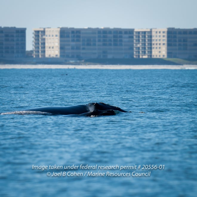 """Aside from Chimenea, a right whale nicknamed """"Millipede"""" and her calf were spotted in Ponce Inlet Dec. 10."""