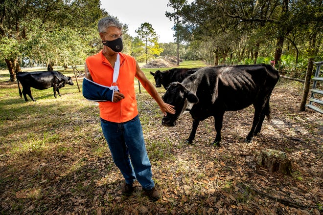 Billy Friend stands in a pasture with cows near an area that was proposed to be developed into a housing development called Morgan Creek at the intersection of Medulla Road and Hamilton Road. Friend and other local residents took home a victory Monday when the Lakeland City Commission denied the controversial expansion.
