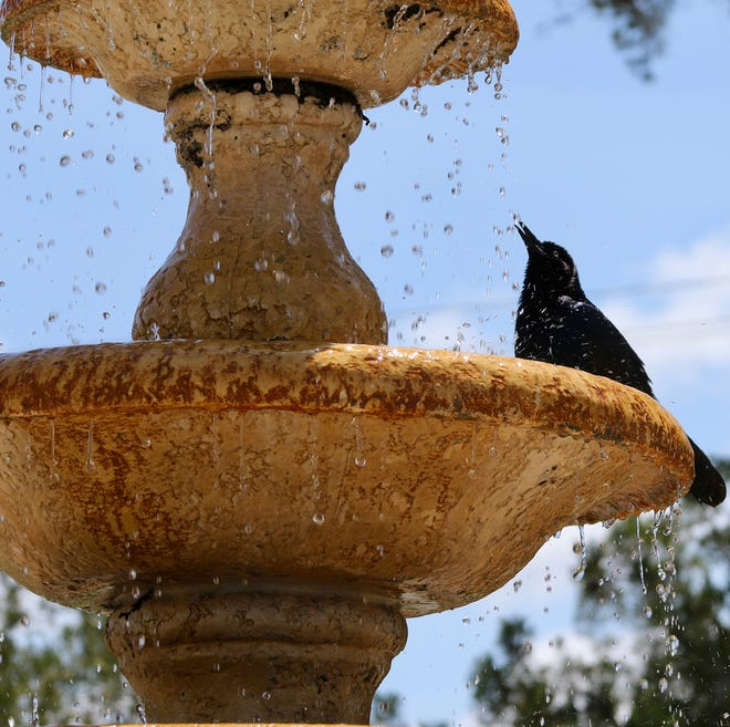 Blackbird cools off by the fountain outside the River House, St. Augustine.