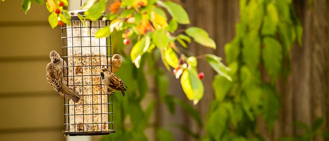"""""""The number one food birds look for is black oil sunflower seed, which is a smaller seed. It's the first thing that gets picked out of the feeder,"""" says Travis Schmidt, account manager for CHS Sunflower. Quality bird food often includes sunflower seeds or kernels that don't make the grade for human food due to appearance or damage."""