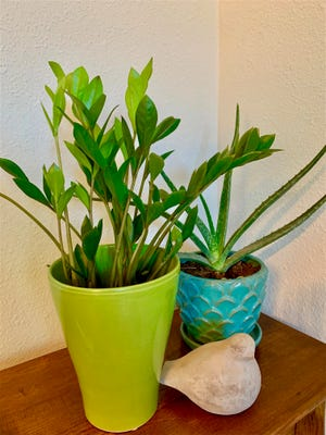 ZZ plants and aloes provide interesting textures in your home decor.