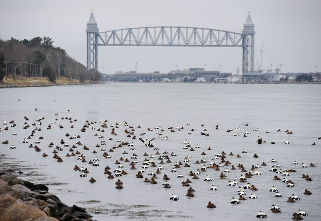 BOURNE -- 01/14/20 -- Ducks were on parade in the Cape Cod Canal near the Railroad Bridge Tuesday. Merrily Cassidy/Cape Cod Times