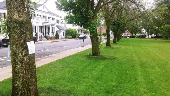 A stand of ash trees on the Park Street side the Natick Town Common before they were removed because of an Emerald Ash Borer infestation.