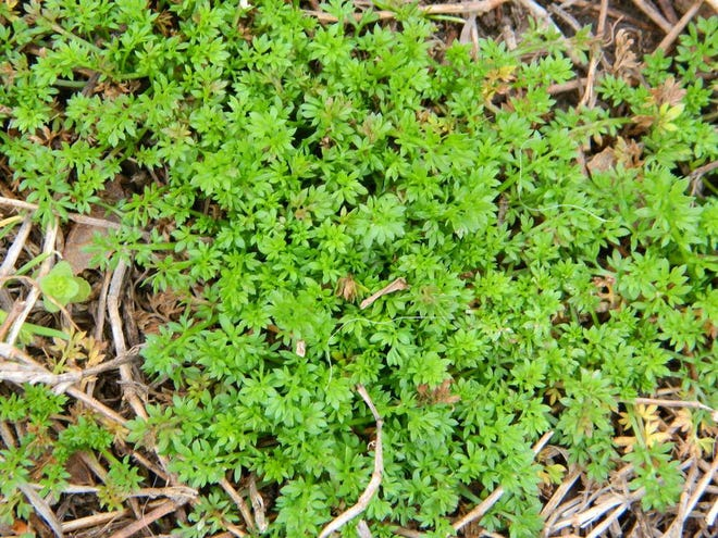 While many weeds are simply eyesores in your lawn, burweed also can make for a painful experience for people and pets.