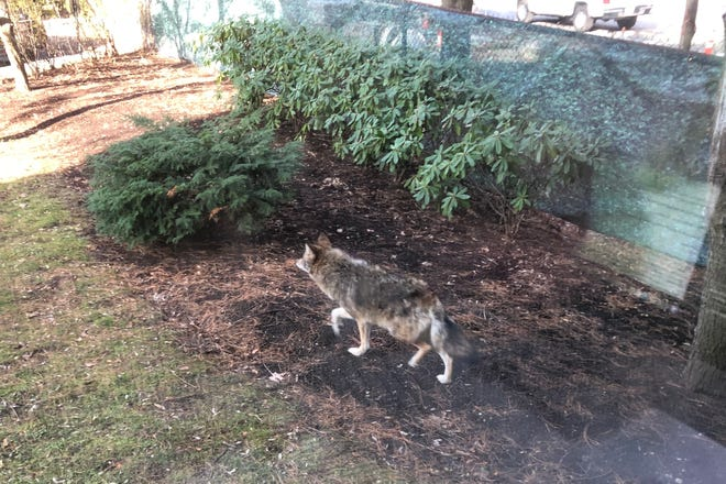 A Pleasant Street resident spotted this Eastern coyote in the backyard of his Cambridgeport home Friday, Dec. 11.