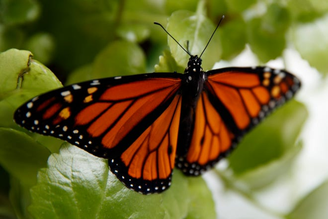 In this June 2, 2019, file photo, a fresh monarch butterfly rests on a Swedish Ivy plant soon after emerging in Washington. Trump administration officials are expected to say this week whether the monarch butterfly, a colorful and familiar backyard visitor now caught in a global extinction crisis, should receive federal designation as a threatened species.