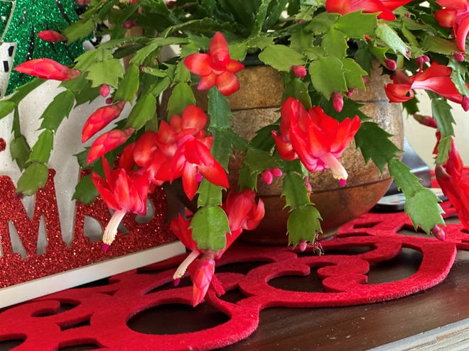 Christmas and Thanksgiving cactuses provide beautiful color for the holiday season.