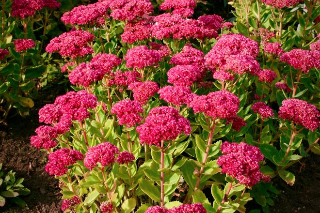 Sedum telephium or 'Indian Chief' is less likely to flop over from the weight of its flower heads than other similar sedums.